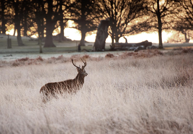Red Deer Stag Looks Into Rising Sun Royalty Free Stock Photo