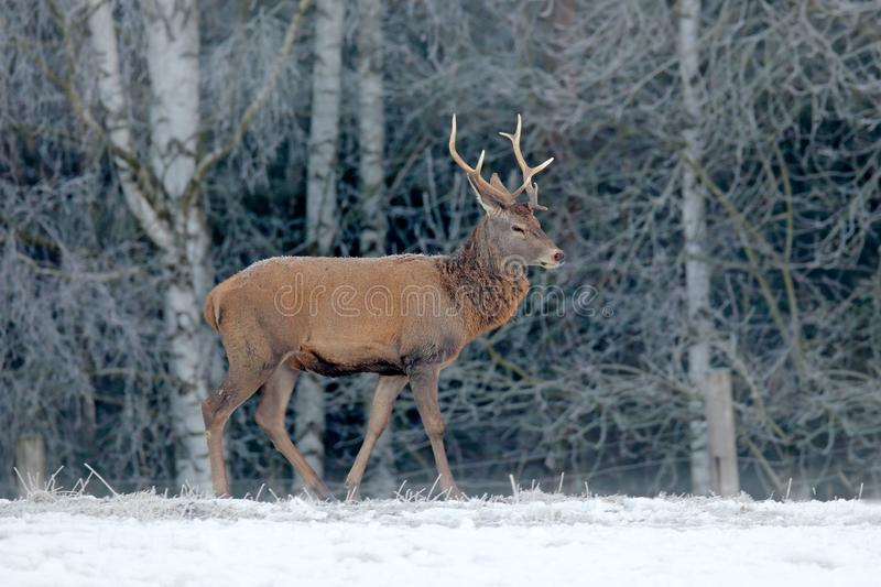 Red deer stag, majestic powerful adult animal with antlers outside wintery forest, Czech. Wildlife from Europe. Winter forest royalty free stock image
