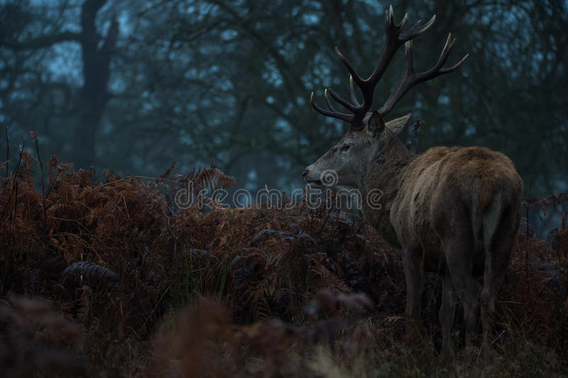Red Deer. Stag portrait in Richmond park, London royalty free stock photos