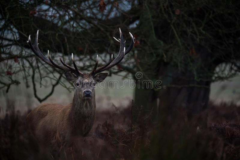 Red Deer. Stag portrait in Richmond park, London stock photos
