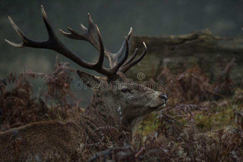 Red Deer. Stag portrait in Richmond park, London stock images