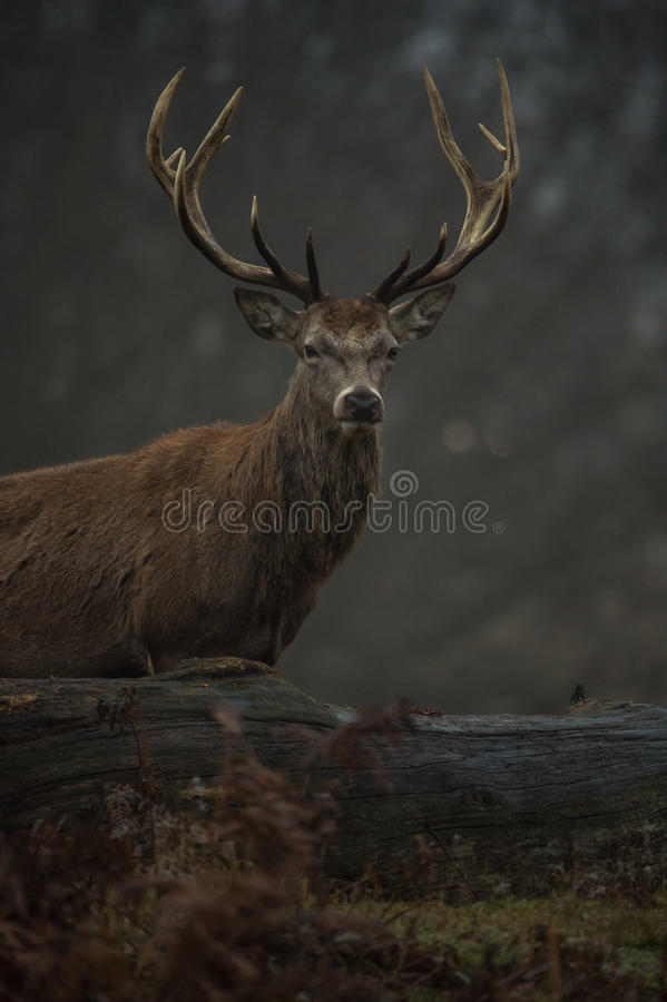 Red Deer. Stag portrait in Richmond park, London stock photography