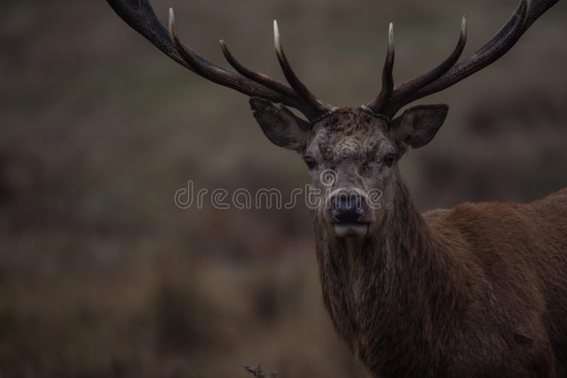 Red Deer. Stag portrait in Richmond park, London royalty free stock photography