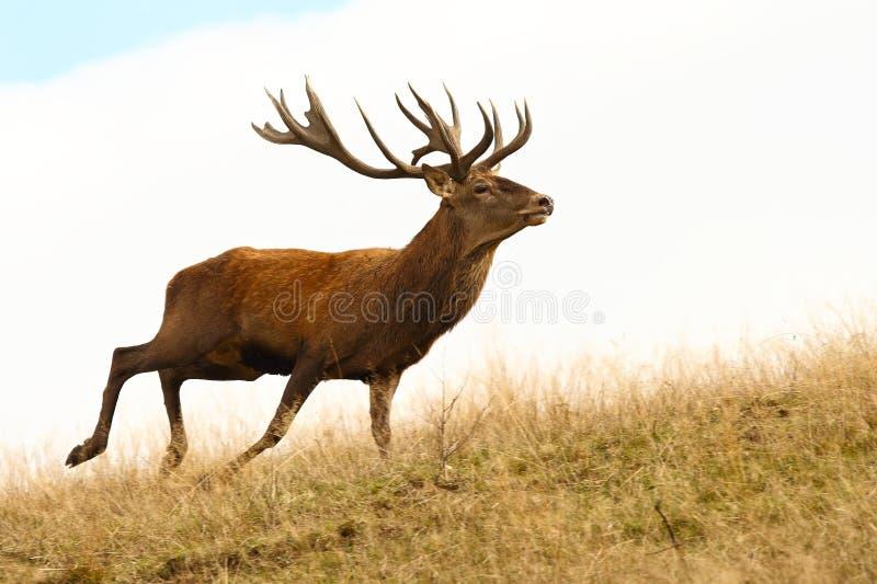 Red deer stag running. Wild ( Cervus elaphus stock photo