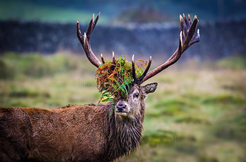 Red Deer Stag during the rutting season. stock image