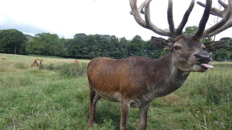Red deer stag saying hello in an English meadow on a summers day stock photos