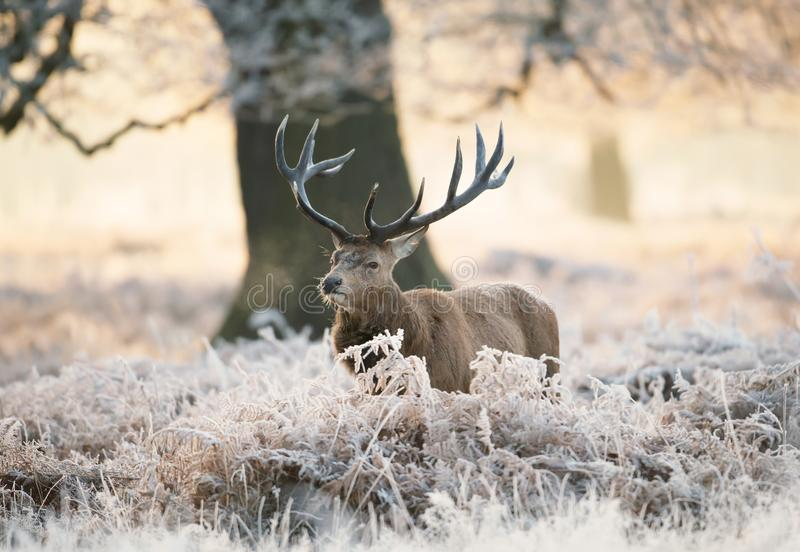 Red deer stag standing in fern on a frosty winter morning. UK stock images