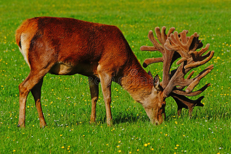 Download Red deer stag in velvet stock image. Image of coast, males - 28559077