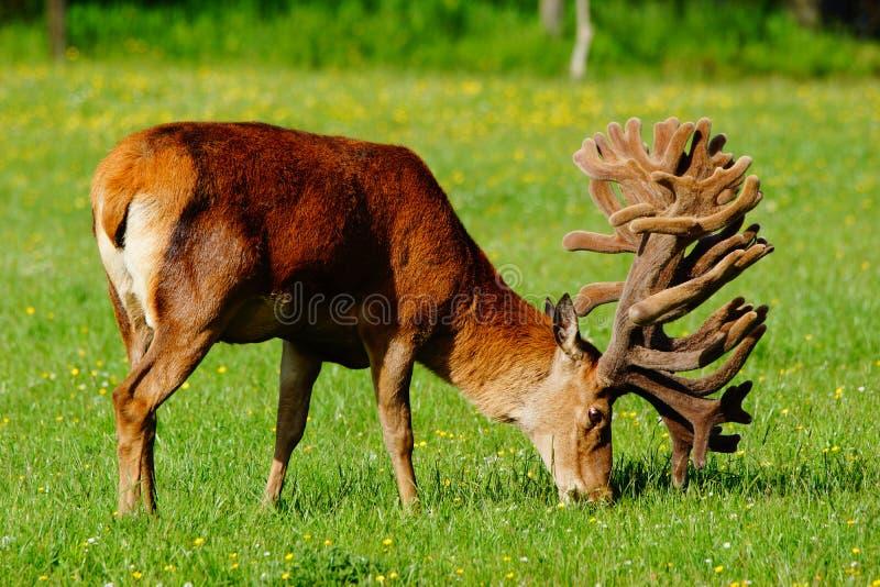Red deer stag in velvet. World-class red deer stag, Cervus elephus, in velvet, Westland, New Zealand royalty free stock images