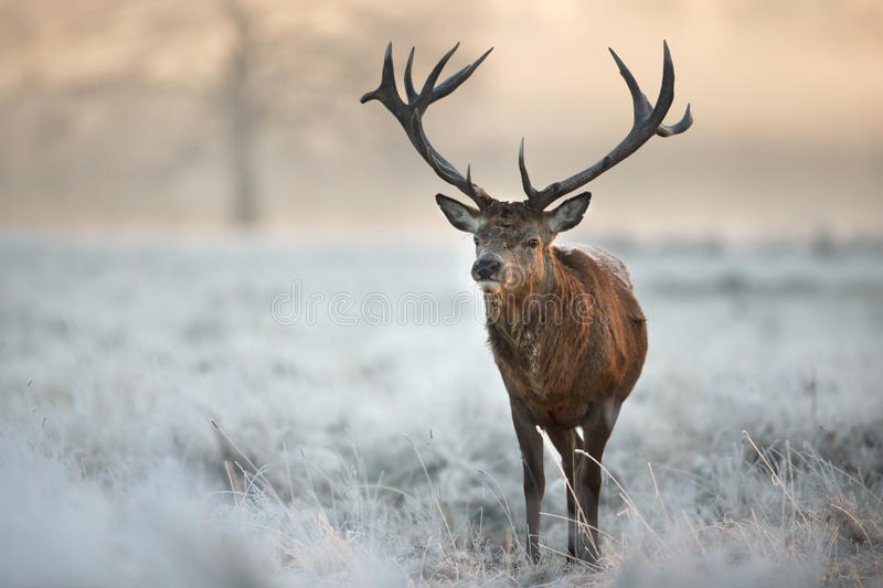 Red deer stag in winter stock images