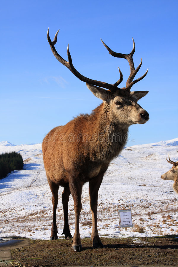 Free Red Deer Stags Royalty Free Stock Images - 4497809