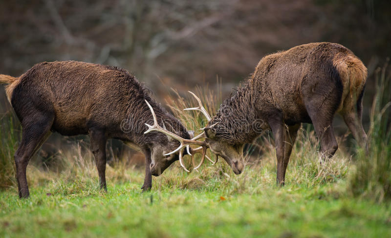 Red deer stags fighting royalty free stock photography