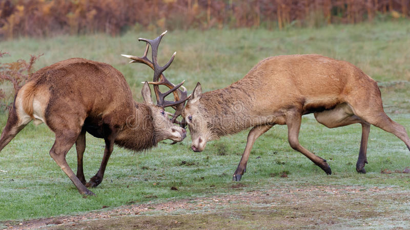 Red Deer stags fighting. A pair of Red Deer stags fighting on a crisp morning royalty free stock image