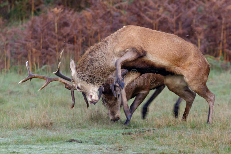 Red Deer stags fighting. A pair of Red Deer stags fighting on a crisp morning stock photography