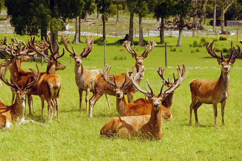 Red deer stags in velvet. Impressive mob of red deer stags, Cervus elephus, in velvet, Westland, New Zealand royalty free stock photos