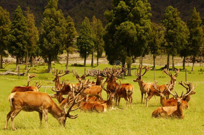 Red deer stags in velvet. Impressive mob of red deer stags, Cervus elephus, in velvet, Westland, New Zealand stock photo