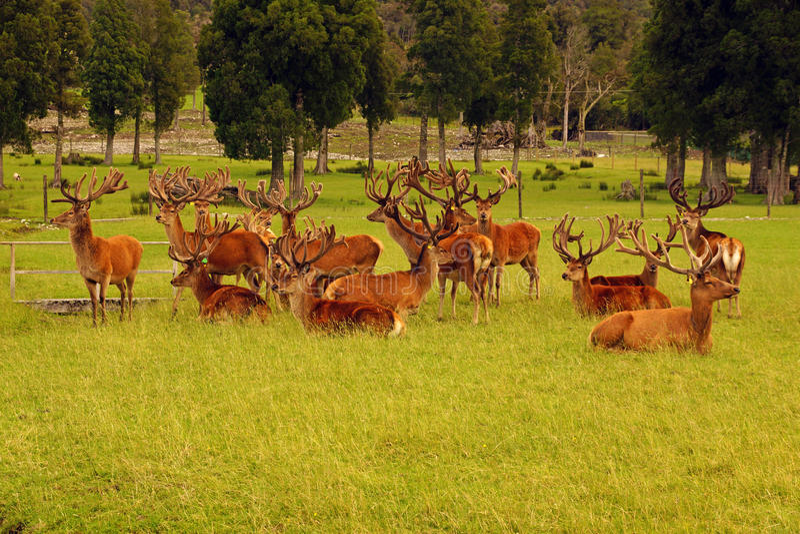 Red deer stags in velvet. Impressive mob of red deer stags, Cervus elephus, in velvet, Westland, New Zealand stock photos