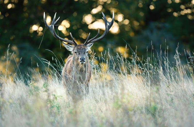 Red deer standing in the grass at sunrise stock photos