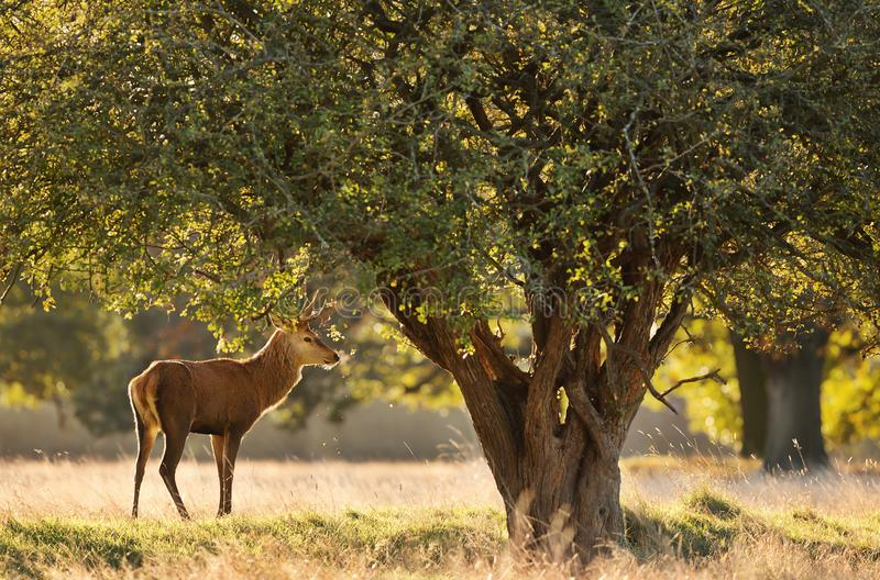 Red deer standing under a tree at dawn stock photos