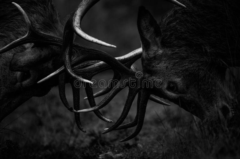 Red Deer. Two Red Deer Stags rutting royalty free stock images
