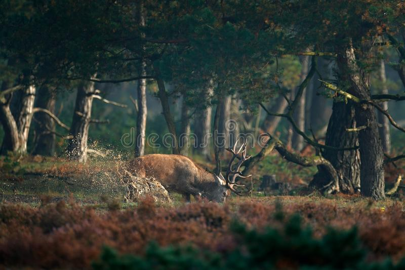 Red deer in water pond, rutting season, Hoge Veluwe, Netherlands. Deer stag, bellow majestic powerful adult animal outside wood. stock images