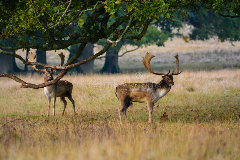 Red Deer. Wild Red Deer photographed early morning at Petworth Park stock images