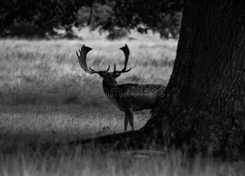 Red Deer. A wild shy Red Deer photographed early morning at Petworth Park stock photo