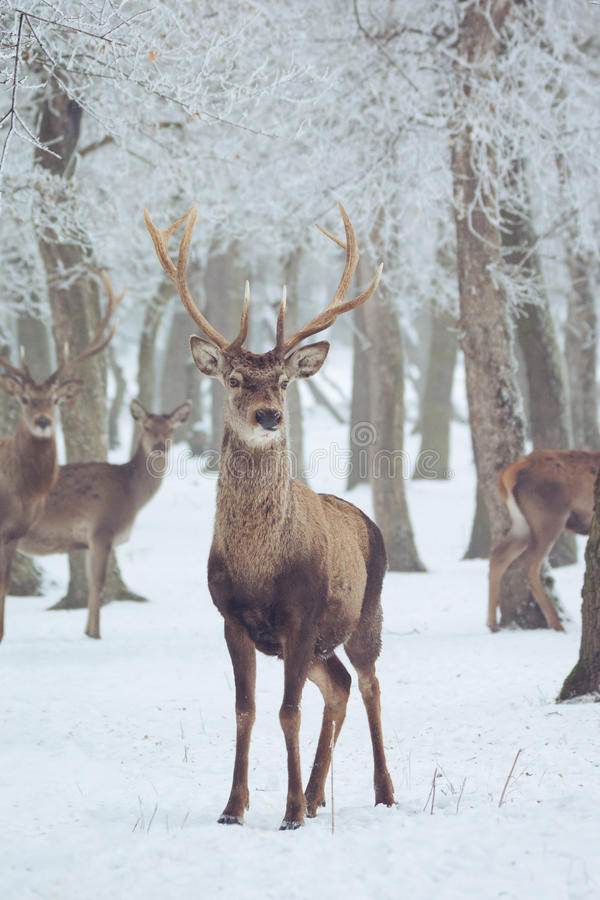 Download Red deer in winter stock image. Image of special, stag - 86793867