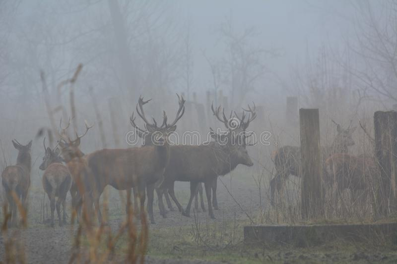 Red deers on a day with a lot of fog in December in the Oostvaardersplassen in the Netherlands royalty free stock photo