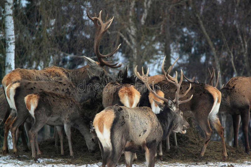 Download Red deers stock image. Image of does, mammals, fallow - 41085245
