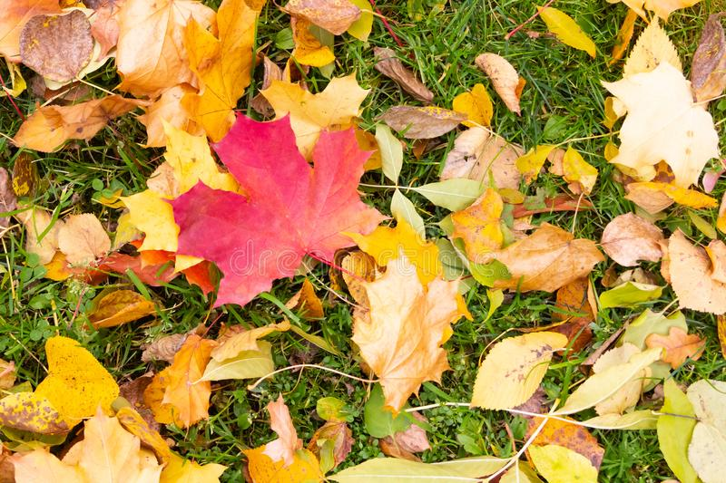 Red delicate sheet of maple fallen autumn design colorful background. Fallen leaves red yellow leaf clover royalty free stock photos
