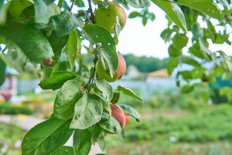 Red delicious apple. Shiny delicious apples hanging from a tree branch in an apple orchard.  stock image