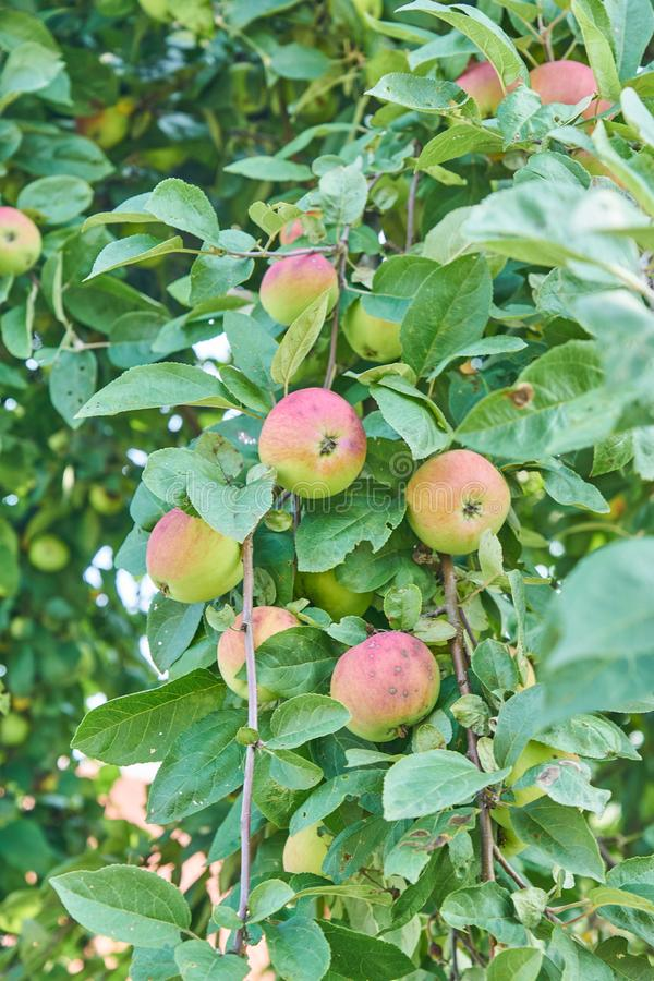 Red delicious apple. Shiny delicious apples hanging from a tree branch in an apple orchard.  royalty free stock photography