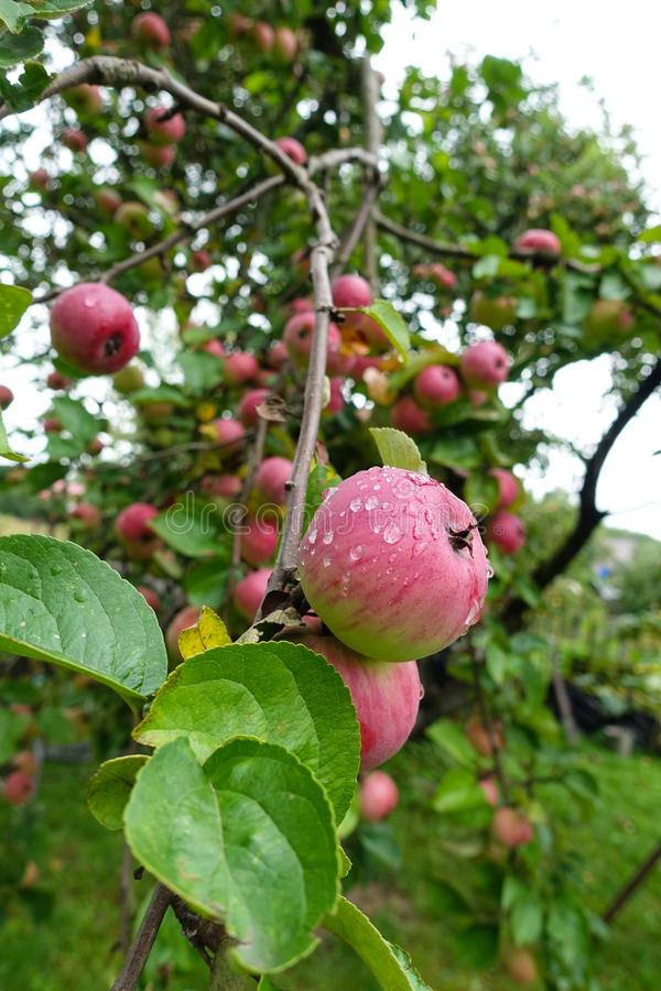Red delicious apple with water drops. Shiny delicious apples hanging from a tree branch in an apple orchard stock images