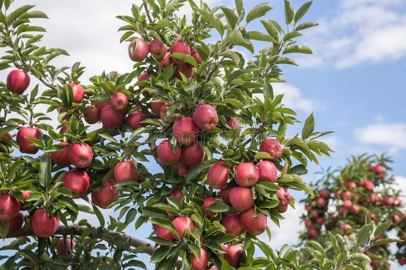 Red Delicious Apples in Hudson Valley stock foto