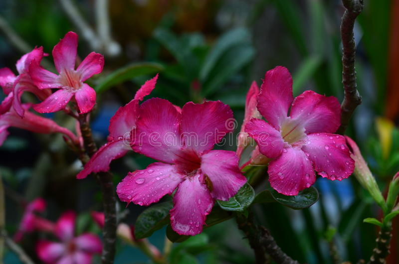 Red Desert rose flowers stock photo
