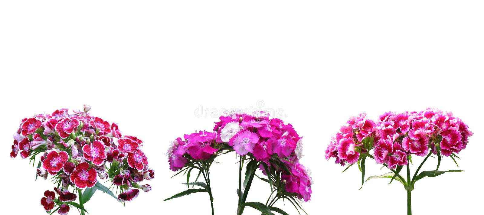 Red dianthus. On white background royalty free stock photo