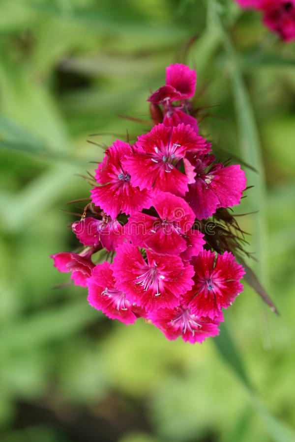Red dianthus barbatus. In the garden royalty free stock image