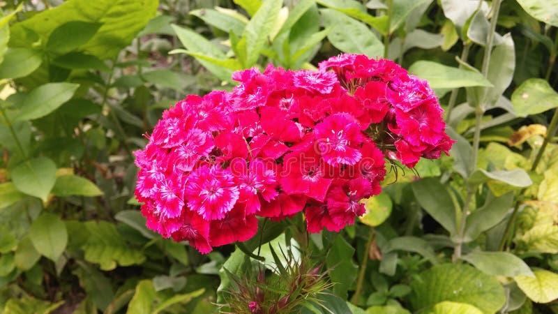 Red Dianthus barbatus - Summer garden flowers stock photography