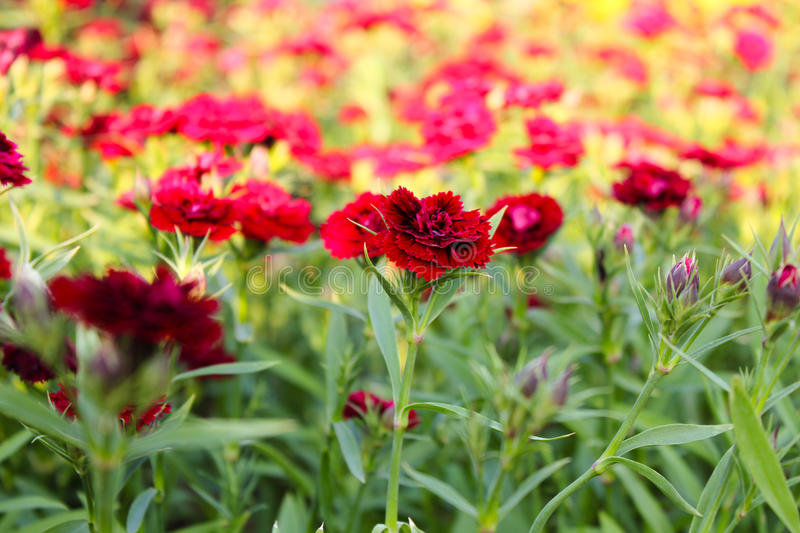 Red Dianthus. The field of Red Dianthus stock photos