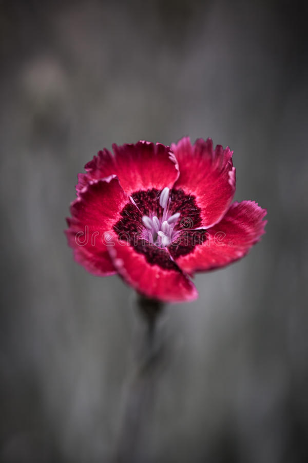 Red dianthus flower. In the garden stock photos