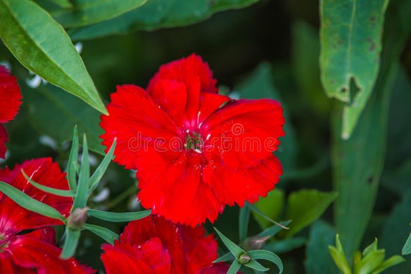 Red dianthus flower. In garden stock photo
