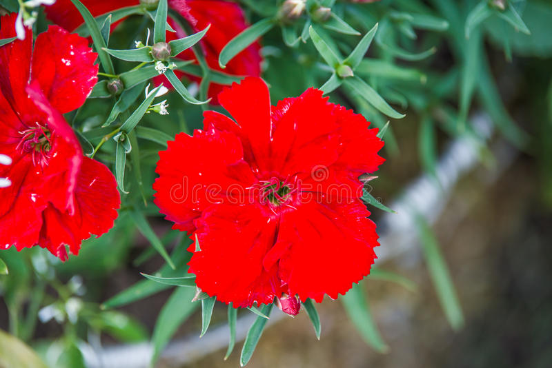 Red dianthus flower. In garden royalty free stock photography