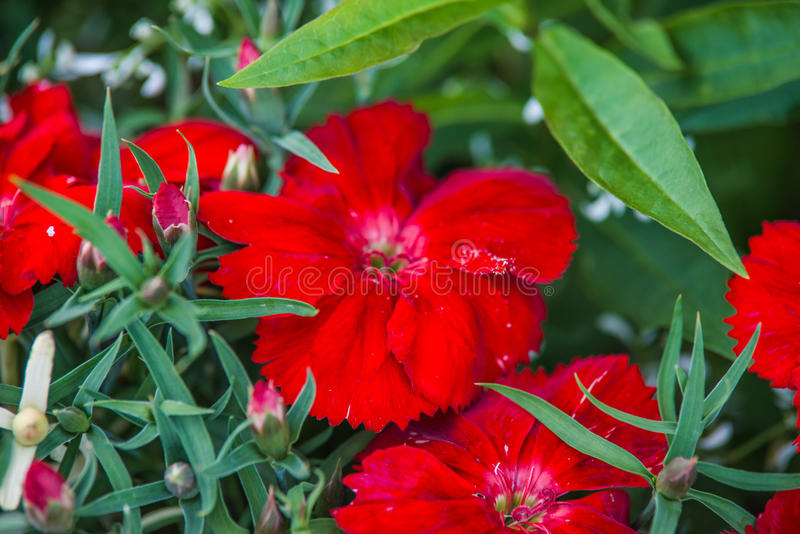 Red dianthus flower. In garden royalty free stock image