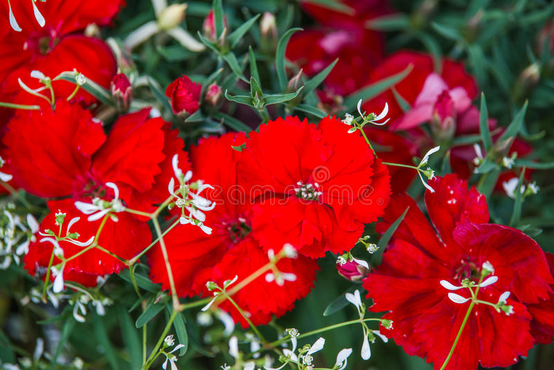Red dianthus flower. In garden stock photography