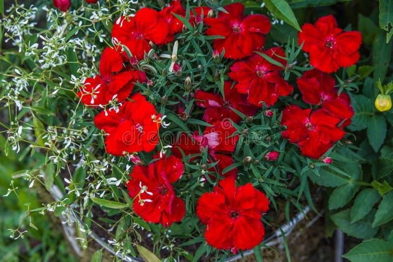 Red dianthus flower. In garden stock photos
