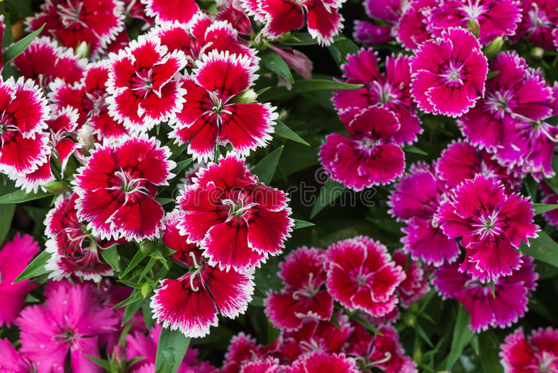 Red Dianthus flower. On top view stock photo