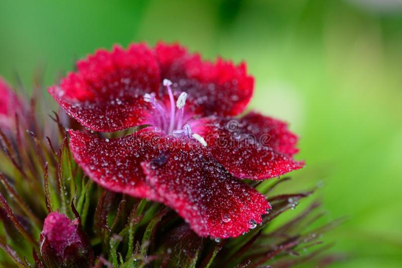 Red Dianthus flower. With water droplets royalty free stock images