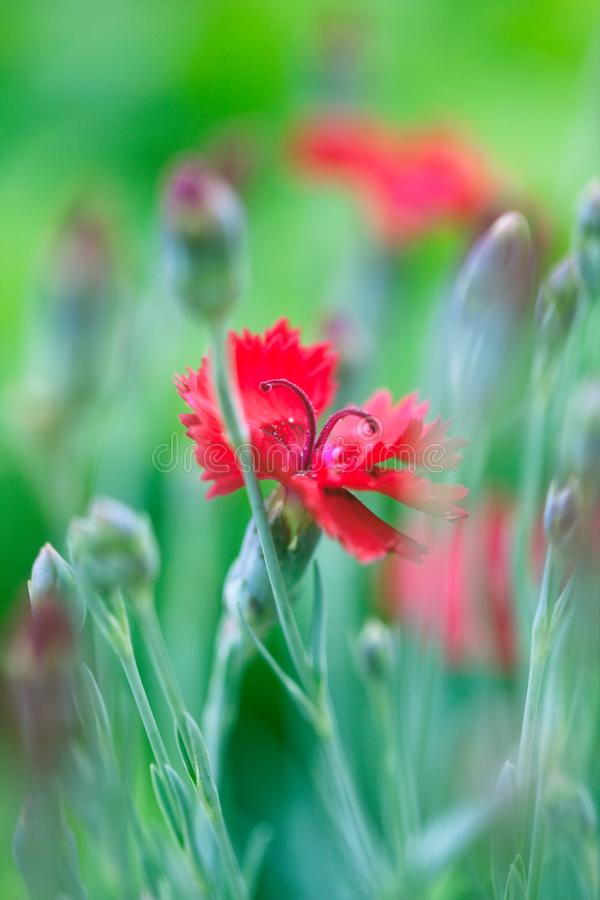 Red Dianthus Flowers. Blooming in springtime in the garden royalty free stock image