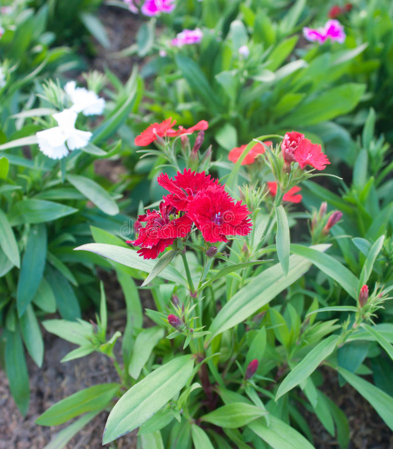 Red dianthus stock photo